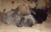 Вислоухие кролики Карликовый баран.