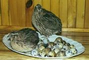 Продаю перепелов и инкубационные яица